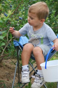 Young child picking Blueberries