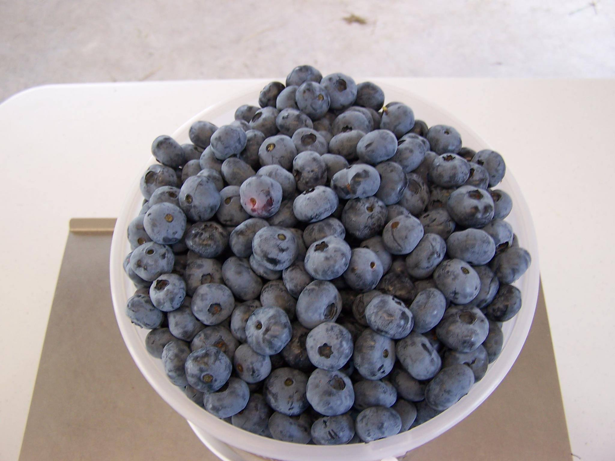 Fresh UPicked Blueberries - Ridge Farm Eleva WI