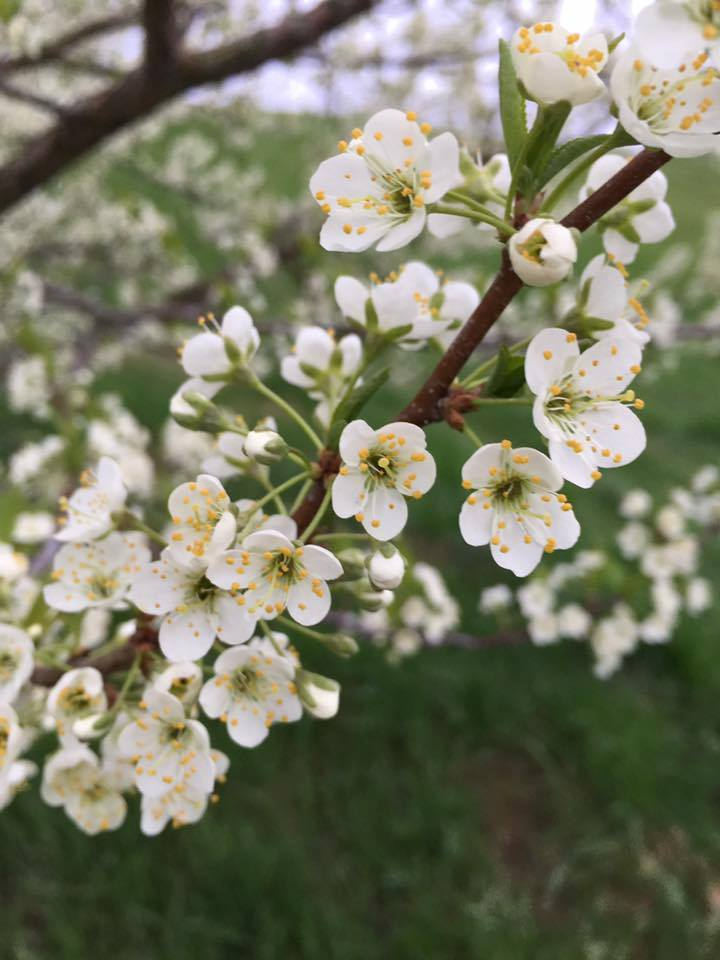 Plum Blossoms Ready Picked - Blueberry Ridge Farm WI